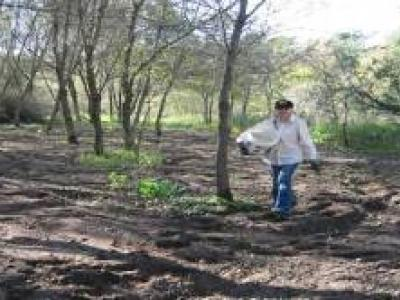 Seeding acorns after tilling. Walnuts already spread on the ground, September 2007.