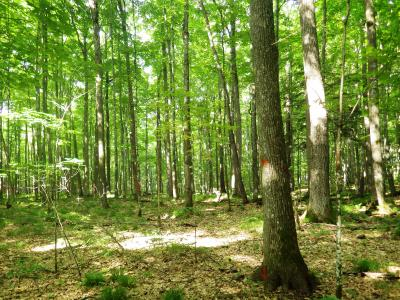 The stand is composed of mostly sugar maple, basswood, northern red oak, and white ash with minor components of other hardwood species and hemlock. The dense canopy has limited the understory to spring ephemerals and a few scattered ferns.