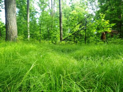 The study area stand is infested with a dense carpet of sedge that covers nearly 100% of the forest floor. Little natural regeneration is occurring on the site even though the stand was recently harvested leaving about 80 ft2/ac of residual basal area.