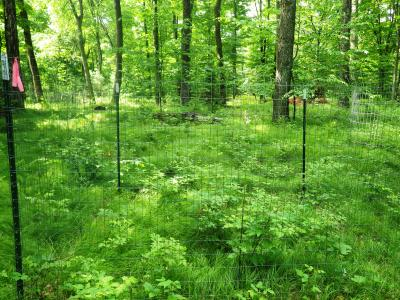 Deer exclosures were erected to investigate the cumulative effects of sedge and deer. This test plot shows only the deer exclosure treatment where previously browsed seedlings are responding well to the absence of browse pressure.
