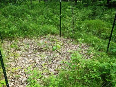 The test plots are also showing signs of other herbaceous plant species colonizing in the absence of the dense sedge mat. In other plots, especially ones that were scarified, non‐native invasive species are also being introduced which may be of concern.