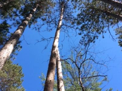 Red pine stressed from competition, killed by bark beetles