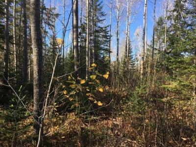 Harvest site image showing a mix of spruce and aspen