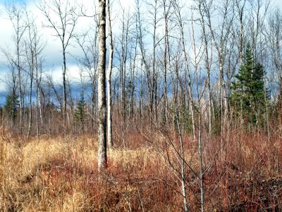 Photo showing reserve ash trees scattered through white spruce interplanting site.