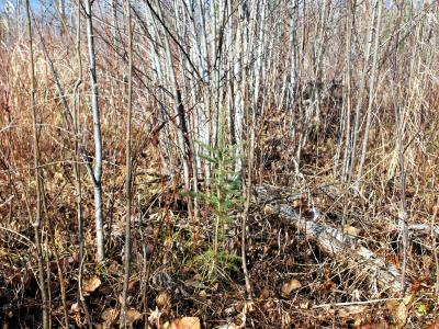 White spruce seedings surrounded by aspen, year 3, planted in aspen dominated stand.