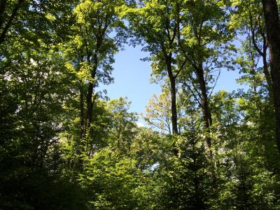 Two-cohort northern hardwood stand