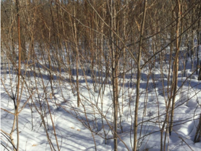 Sugar Maple and Yellow Birch Saplings that resulted from a selection harvest in the summer of 2006 & 2007.