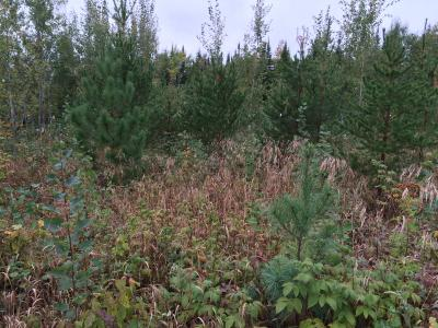White, red, and jack pine seedlings on pine conversion, Jim Readdy Rd