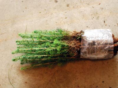Bundle of 25 white spruce 1-0 container seedlings such as those interplanted on this site.