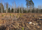 Variable density regeneration pattern and bud-capped jack pine and white pine mixed with red pine