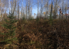 Figure 1. October 2016, planted white spruce within harvest gap approximately 2 years following brush saw release treatment.