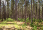 Figure 1.  The stand in 2017 – a 59 year old red pine plantation with natural regeneration in the understory