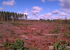 The treatment area following the clearcut of red pine. Note the variable levels of slash.