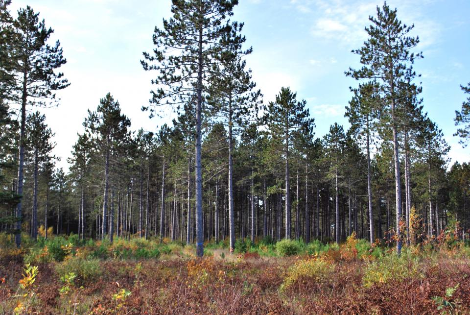 Norway Pine Shelterwood With Diplodia Mn Dnr Great