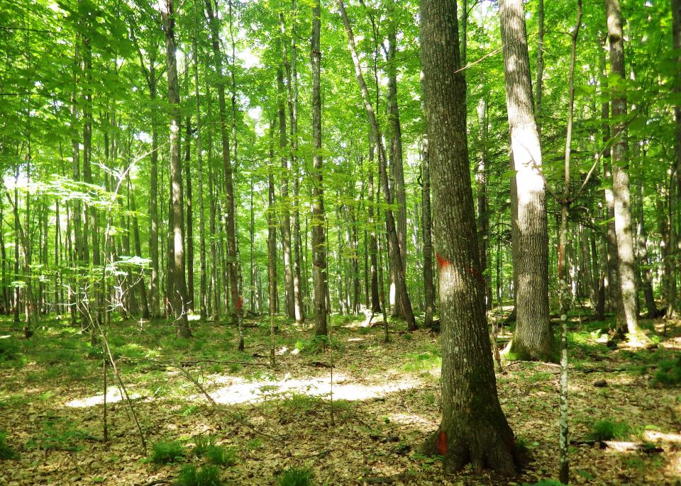 Conversion Harvest In Rich Mesic Northern Hardwood Stand